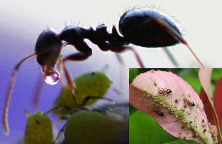 النمل و المن